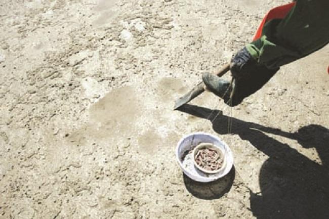 Dưới lớp đất pha cát xâm xấp nước này được xác định là có một tổ sá sùng.